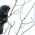 Great Grey Owl On Watch by Bob Christopher
