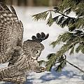 Great Grey Owl Pictures 23 by Owl Images