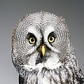 Great Grey Owl by Science Photo Library