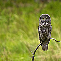 Great Grey Owl by Scott Moss