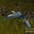 Great Heron Over Oyster Beds by Stephen Whalen