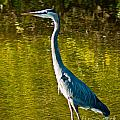 Great Heron by Stephen Whalen