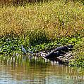 Great Herons Wading Near Alligator Sunning by Anne Kitzman