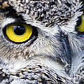 Great Horned Closeup by Dee Cresswell