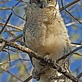 Great Horned Owl 2 by Bob Christopher
