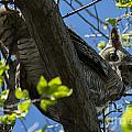 Great Horned Owl 5 by Bob Christopher