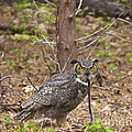 Great Horned Owl by Amazing Jules