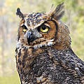 Great Horned Owl by Ann Horn
