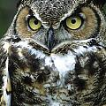 Great Horned Owl At Rest by Larry Allan