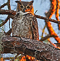 Great Horned Owl At Sunset by Raymond Poynor