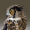 Great Horned Owl by Brian Wallace