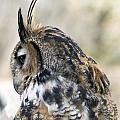 Great Horned Owl by Dana Moyer