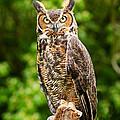 Great Horned Owl by David Davis