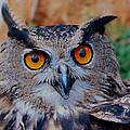 Great Horned Owl by Ellen Henneke