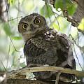 Great Horned Owl Fledgling  by Saija  Lehtonen