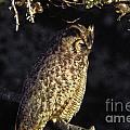 Great Horned Owl by Howard Stapleton
