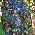 Great Horned Owl In Salmonier Nature Park-nl by Ruth Hager