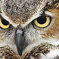 Great Horned Owl by Jill Lang