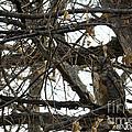 Great Horned Owl by Joan Wallner
