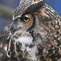 Great Horned Owl by Ken Keener