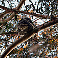 Great Horned Owl Looking Down  by Afroditi Katsikis
