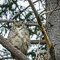 Great Horned Owl by Michael Chatt