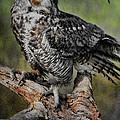 Great Horned Owl On Branch by Deborah Benoit