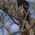 Great Horned Owl On Watch by Crystal Heitzman Renskers