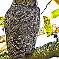 Great Horned Owl  by Rob Mclean