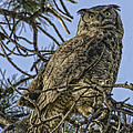 Great Horned Owl by Tom Wilbert