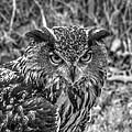 Great Horned Owl V7 by John Straton