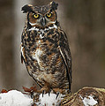 Great Horned Owl Watching You by Inspired Nature Photography Fine Art Photography