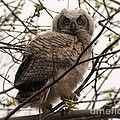 Great Horned Owlet 2 by Vivian Christopher