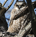 Great Horned Owlet Finishes Lunch by Jayne Gohr