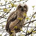 Great Horned Owlet by Vivian Christopher