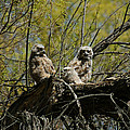 Great Horned Owlets 1 by Ernie Echols