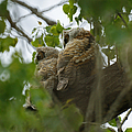 Great Horned Owlets 5 20 2011 by Ernie Echols