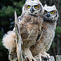 Great Horned Owlets by Barbara McMahon