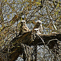 Great Horned Owlets Photo by Ernie Echols