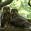 Great Horned Owls by Cheryl Baxter