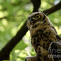 Great Horned Youngster by Cheryl Baxter