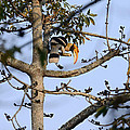 Great Indian Hornbill by Fotosas Photography