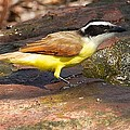 Great Kiskadee by Stuart Litoff