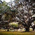 Great Live Oak by Richard Kook