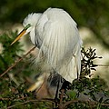 Great Egret Takes A Stance by Patricia Twardzik