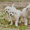 Great Pyranese Puppies by Bonnie Willis
