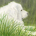 Great Pyrenees Dog In Grass Animal Pets Canine Art by Cathy Peek