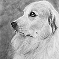 Great Pyrenees In Profile Drawing by Kate Sumners