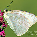 Great Southern White Butterfly by Millard H. Sharp