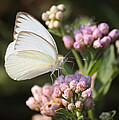 Great Southern White Butterfly On Pink Flowers by Roena King